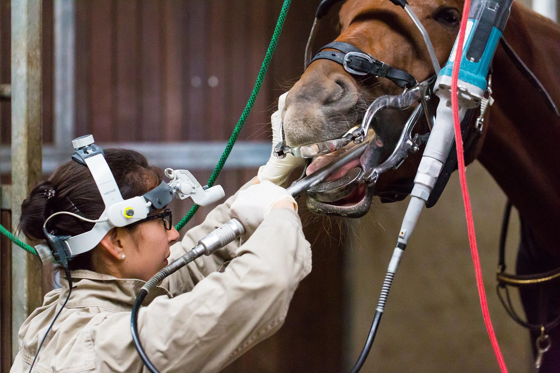 Veterinarian adminsters dental attention in a metal barn