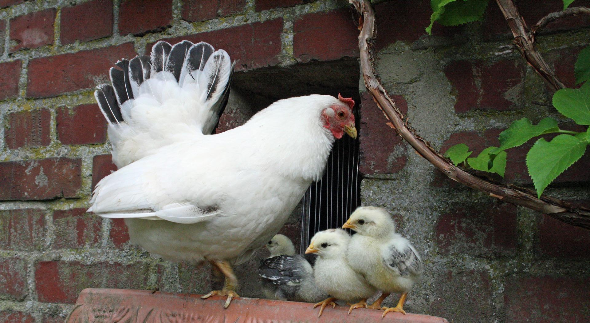 chicken-1929780_1920